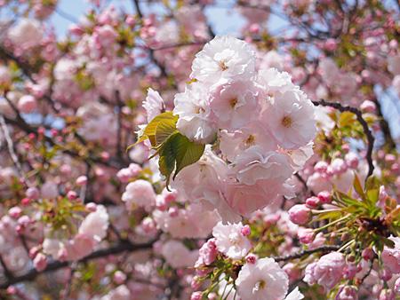 ここで現在、主役となっている八重桜の一葉(イチヨウ)
