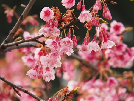 琉球寒緋桜