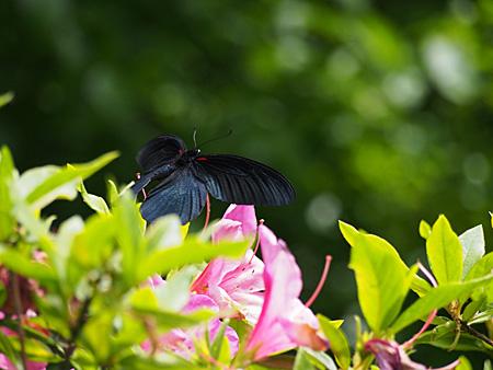 飛び立つナガサキアゲハ(新宿御苑)
