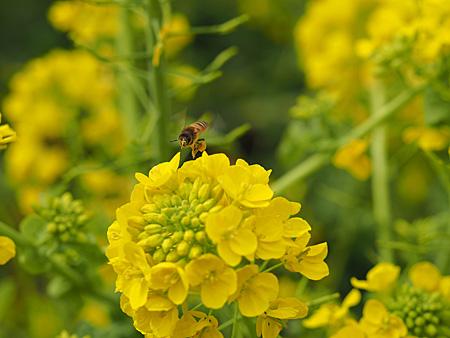 浜離宮のナノハナとミツバチ