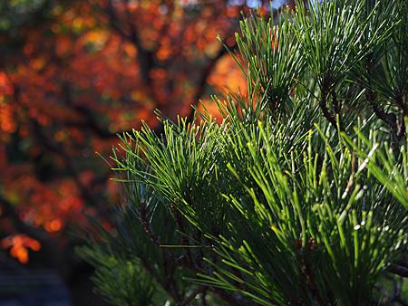 日本庭園の松とハゼノキ
