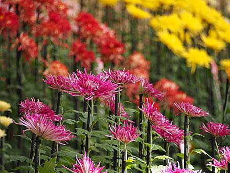 新宿御苑の菊