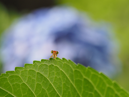 アジサイの葉に止まるベニイトトンボ
