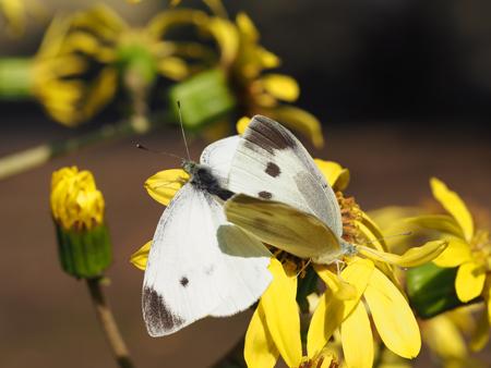 ツワブキの花に止まるモンシロチョウ