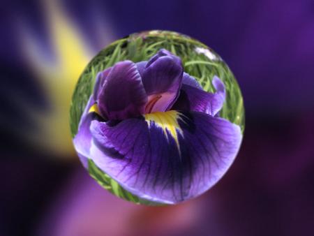 堀切菖蒲園の花菖蒲