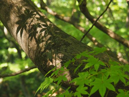 木に映るモミジの影
