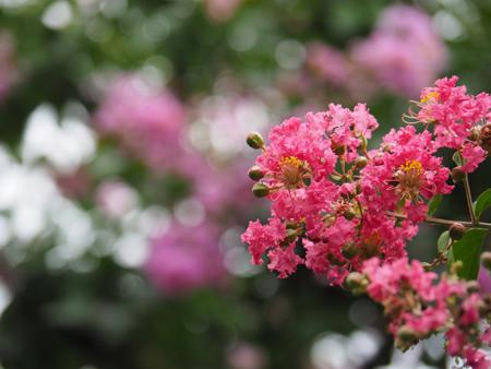 二の丸庭園のサルスベリ
