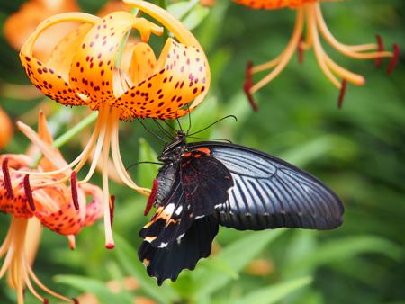 オニユリの蜜を吸うメスのナガサキアゲハ