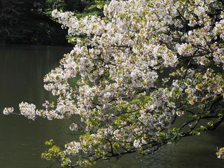 上の池の桜