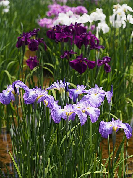 皇居二の丸庭園の花菖蒲