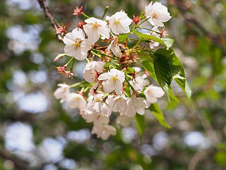 「中の池」付近の大島桜