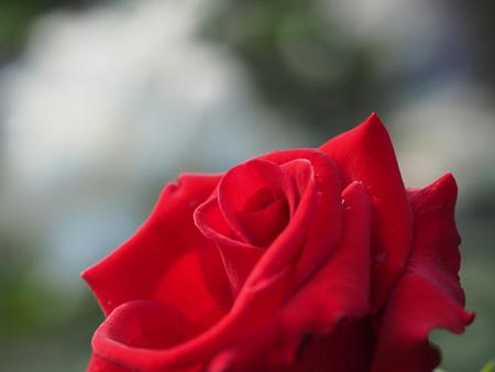 旧古河庭園の薔薇