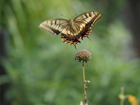 飛び立つキアゲハ