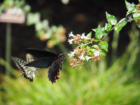アベリアの蜜を吸うナガサキアゲハ