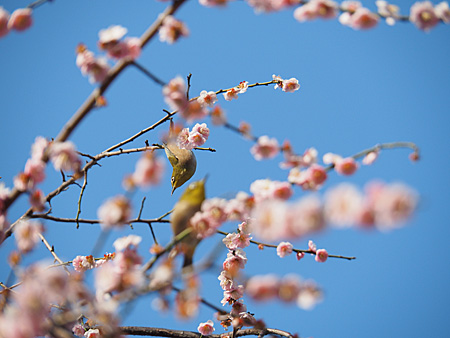 湯島天神の梅とメジロ