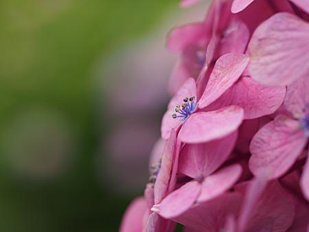 あじさい坂の紫陽花