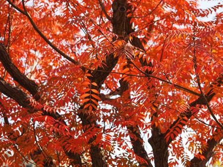 紅葉した向島百花園のハゼノキ