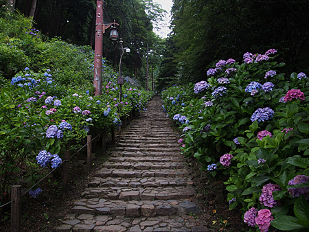 参道の両側に植えられた紫陽花
