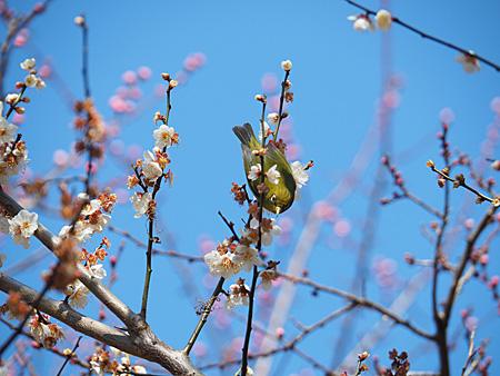 小石川植物園の梅とメジロ