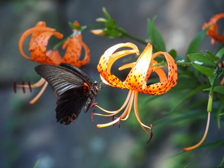 オニユリの蜜を吸うナガサキアゲハ