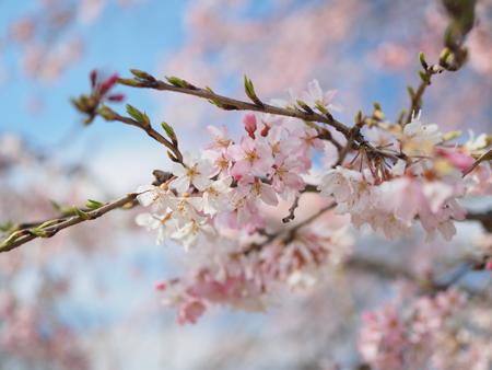 尾久の原公園の枝垂れ桜
