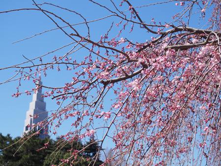 下の池の桜