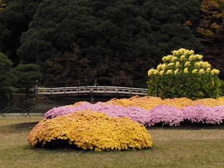 上の池の菊