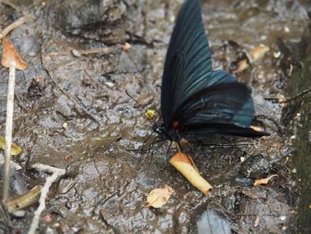 吸水するナガサキアゲハ
