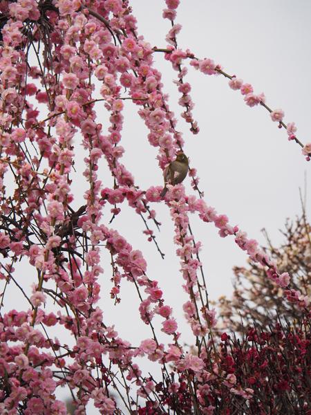 小村井香取神社の梅とメジロ