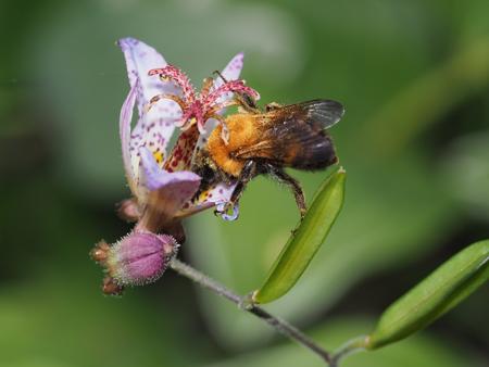ホトトギスの花に止まるトラマルハナバチ