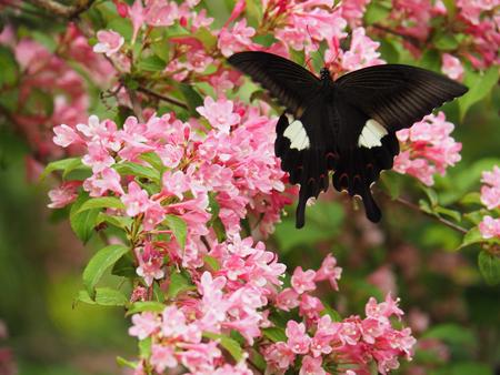 翅を開いて止まるモンキアゲハ