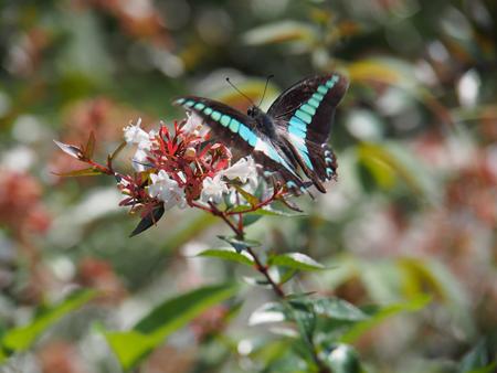 アベリアの花に飛来したアオスジアゲハ