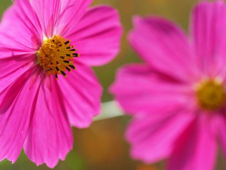 さらにピンクの花
