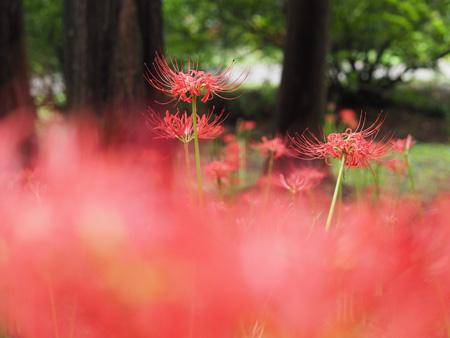 メタセコイア並木と彼岸花
