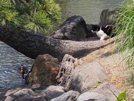 鴨を狙う猫