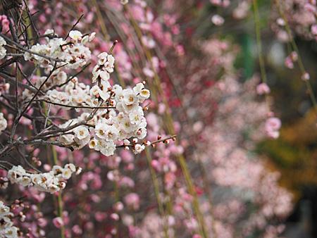 小村井香取神社の梅