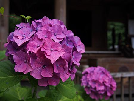 六角堂前の紫陽花