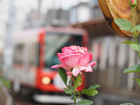 都電荒川線と薔薇