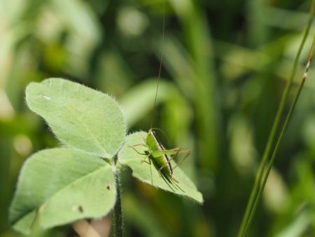 ホシササキリは、まだ幼虫。