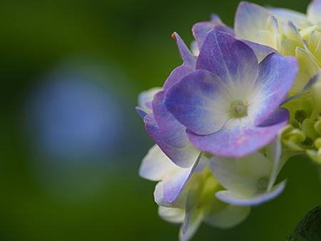 皇居本丸の紫陽花