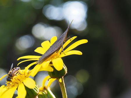 花に止まる地味なオンブバッタ