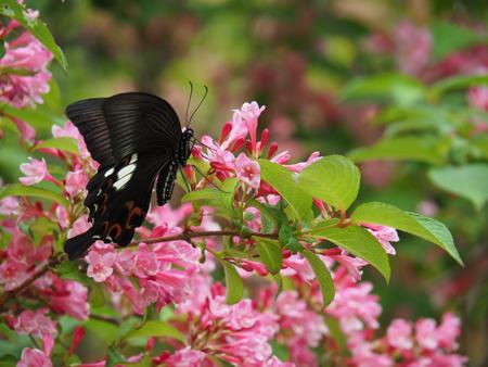 タニウツギの蜜を吸うモンキアゲハ