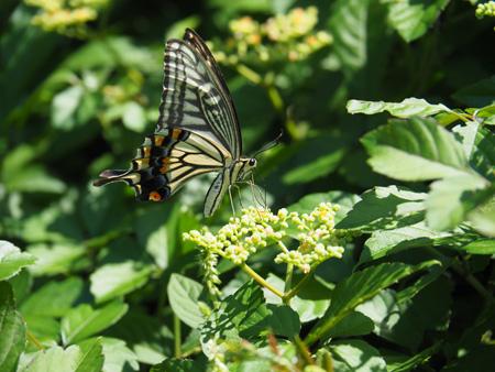 ヤブガラシの蜜を吸うナミアゲハ。