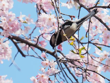 枝垂れ桜とシジュウカラ