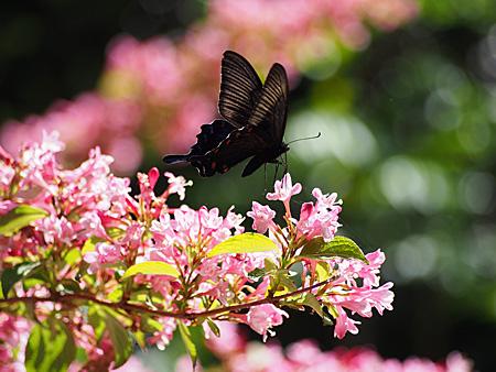 カラスアゲハ(小石川植物園)