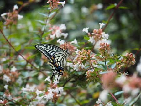 アベリアの蜜を吸うアゲハ
