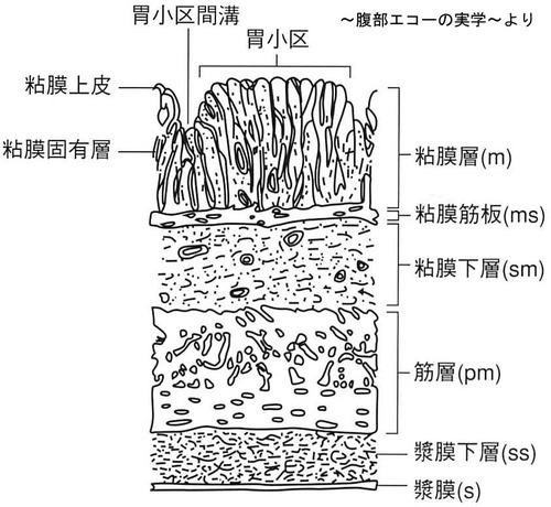 胃の構造1