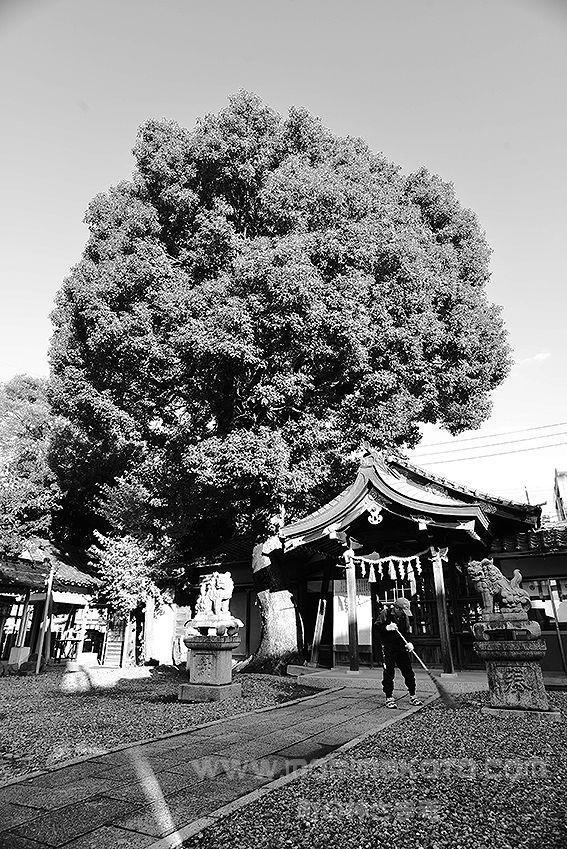 141130西区上名古屋宗像神社クスノキ2
