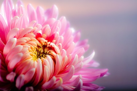 chrysanthemum-202483__340