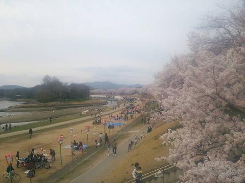旭川桜2017